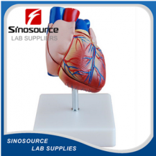New Style Life-Size Heart Model XC-307B
